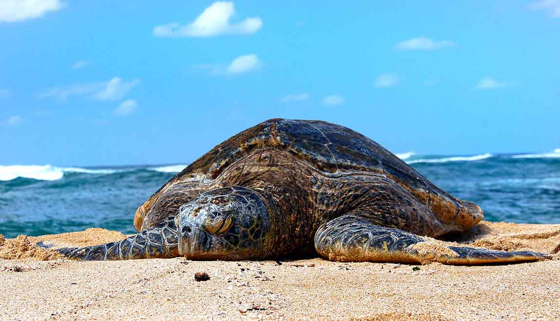 Large Female Turtle