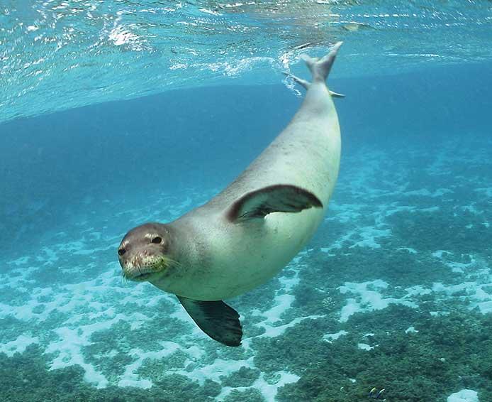 "mediterranean monk seal ""Monachus monachus"""